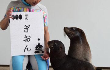 【どうぶつ】オットセイの赤ちゃんプールデビュー 京都・「ぎおん」と命名